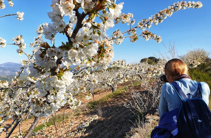 Cerezos en flor en el entorno de Pinedas Sierra de Francia