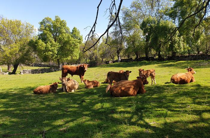 Vacas limusinas en uno de los verdes prados de Pinedas