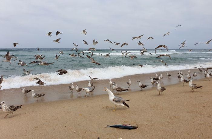 Gaviotas en la playa de Mira