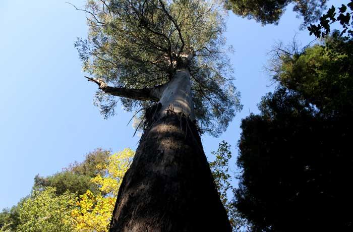 Uno de los árboles gigantes de Bussaco