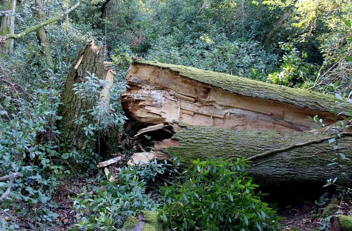 Uno de los árboles derribados por la tormenta Gong