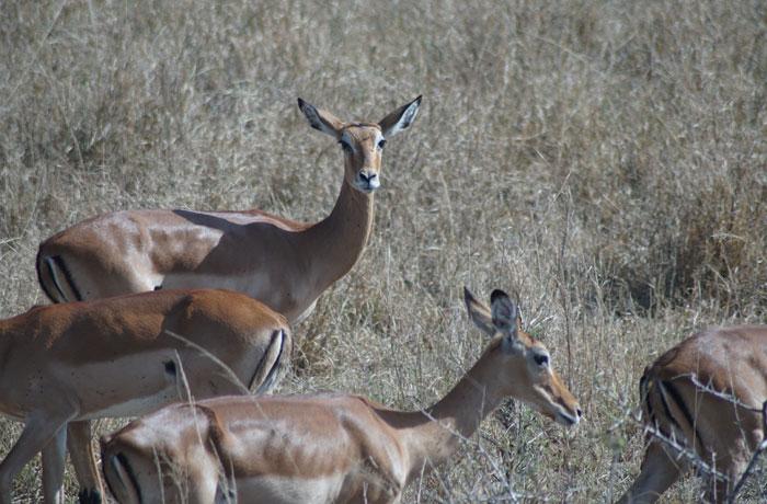 Antílopes en el Serengeti