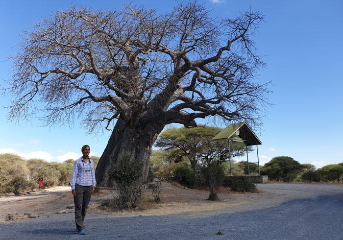 Baobab en Tarangire