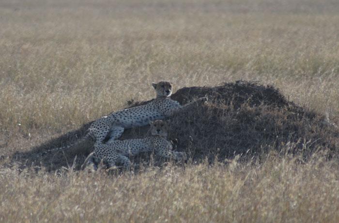 Dos guepardos en el Serengeti
