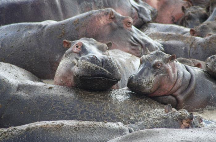 Hipopótamos en la 'hippo pool' del Serengeti