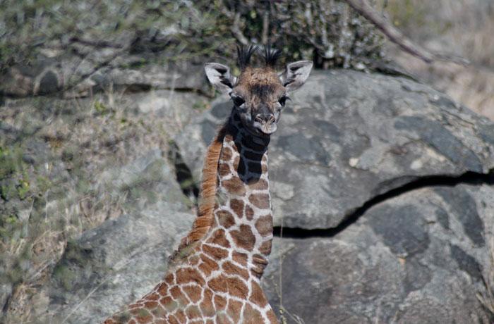 Cría de jirafa en el Serengeti