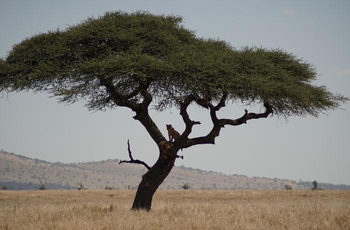 Una leona subida a un árbol en el Serengeti