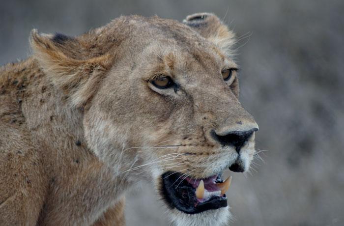 La leona hambrienta del Serengeti consejos safari en Tanzania