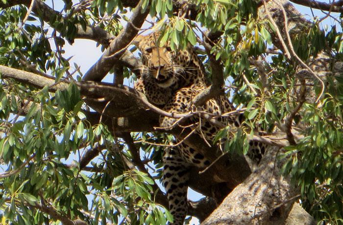 Un leopardo subido a un árbol en el Serengeti consejos safari en Tanzania