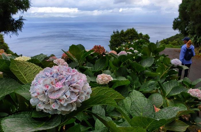 Hortensias en la isla de Pico